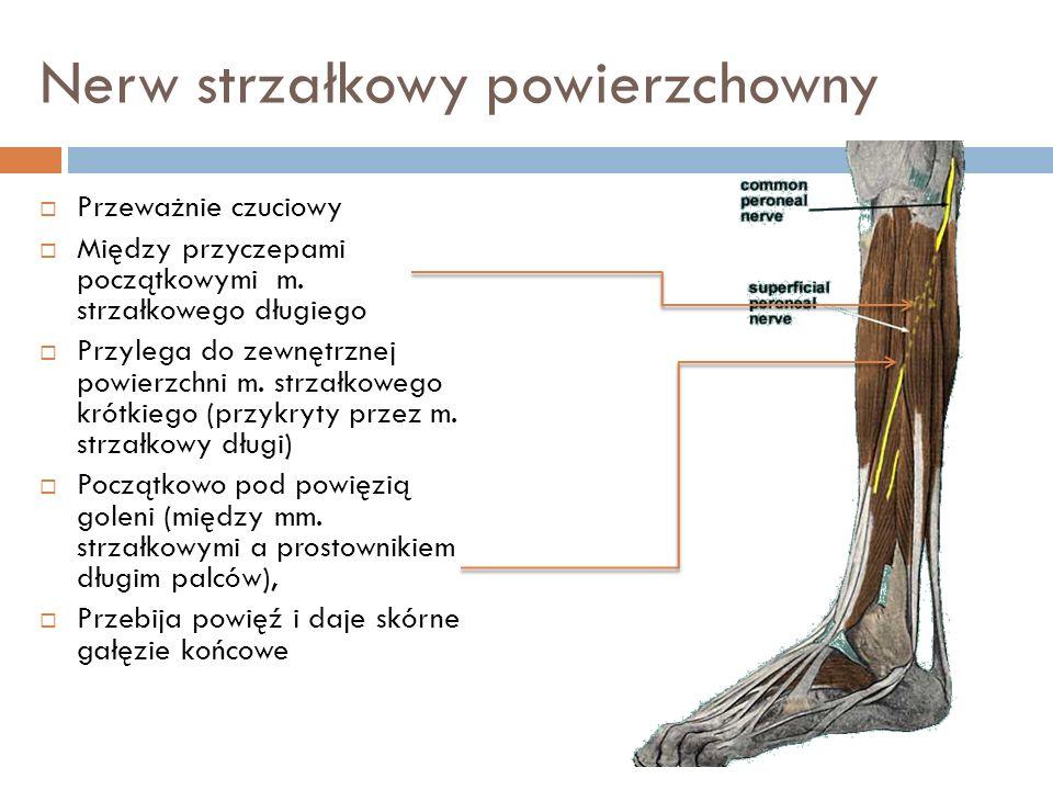 Nerw strzałkowy powierzchowny Przeważnie czuciowy Między przyczepami początkowymi m. strzałkowego długiego Przylega do zewnętrznej powierzchni m. strz