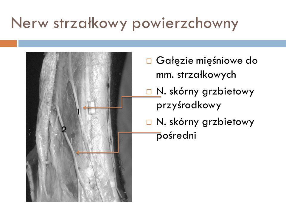 Nerw strzałkowy powierzchowny Gałęzie mięśniowe do mm. strzałkowych N. skórny grzbietowy przyśrodkowy N. skórny grzbietowy pośredni