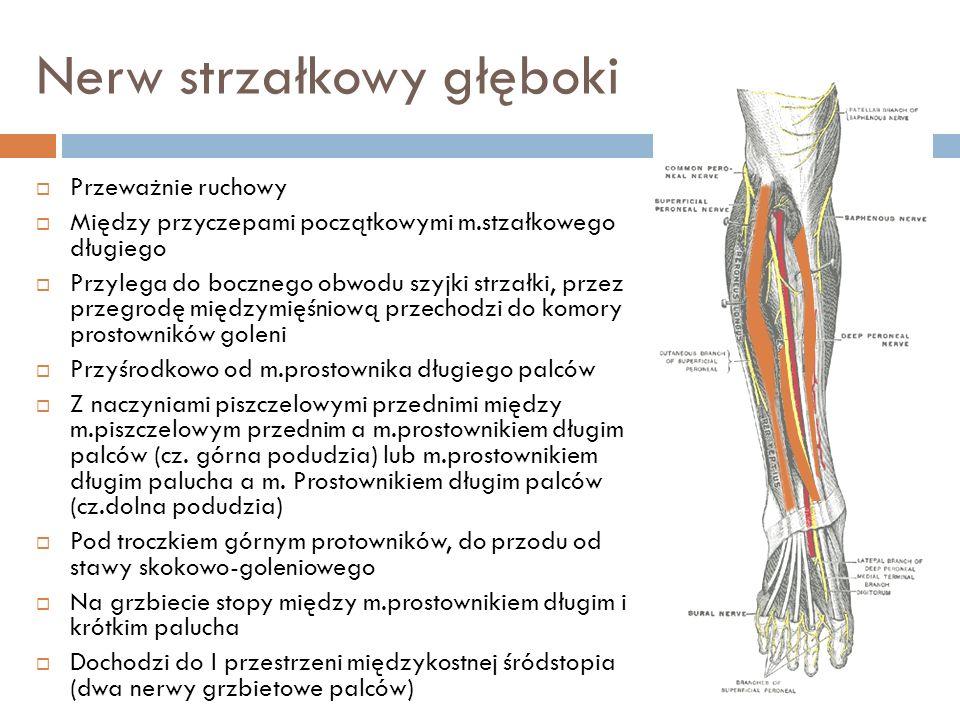 Nerw strzałkowy głęboki Przeważnie ruchowy Między przyczepami początkowymi m.stzałkowego długiego Przylega do bocznego obwodu szyjki strzałki, przez p