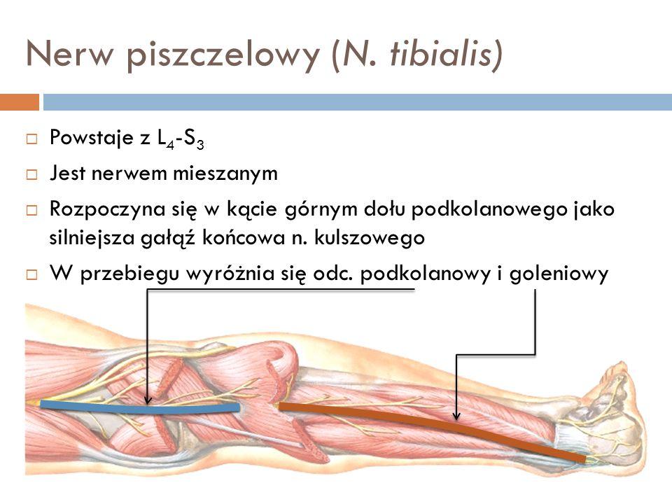 Nerw piszczelowy (N. tibialis) Powstaje z L 4 -S 3 Jest nerwem mieszanym Rozpoczyna się w kącie górnym dołu podkolanowego jako silniejsza gałąź końcow