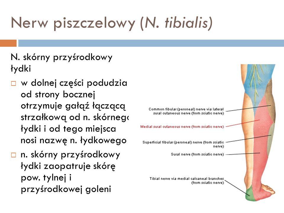 Nerw piszczelowy (N. tibialis) N. skórny przyśrodkowy łydki w dolnej części podudzia od strony bocznej otrzymuje gałąź łączącą strzałkową od n. skórne