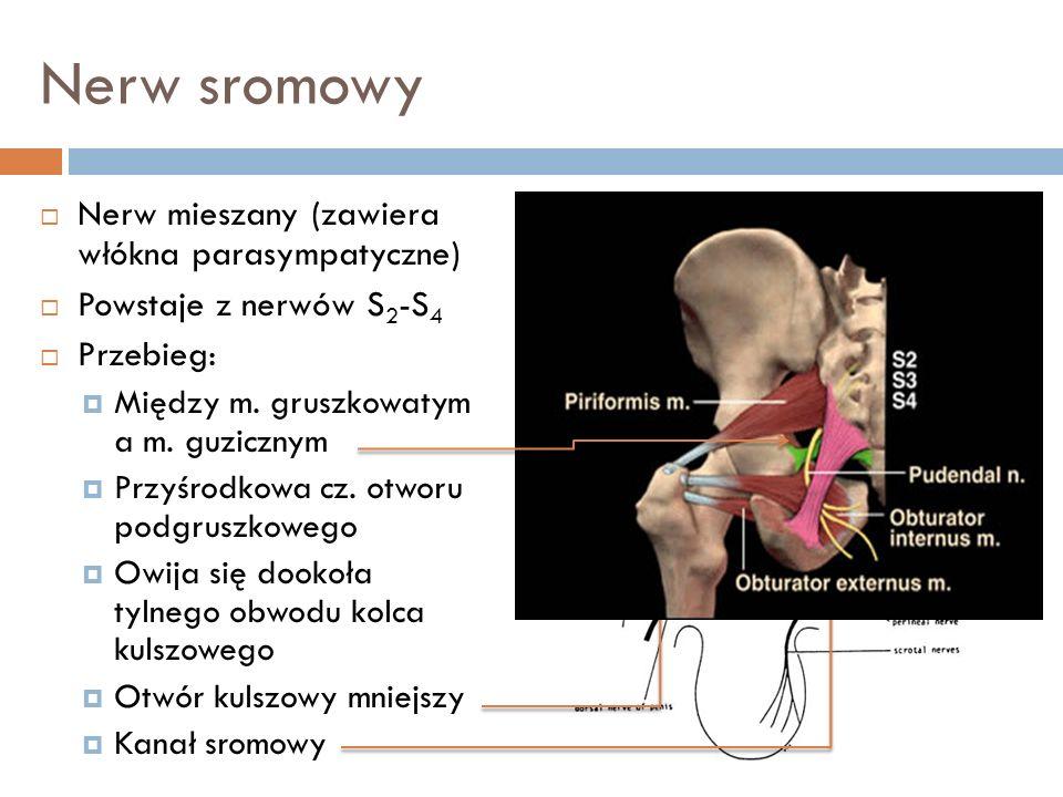 Nerw sromowy Nerw mieszany (zawiera włókna parasympatyczne) Powstaje z nerwów S 2 -S 4 Przebieg: Między m. gruszkowatym a m. guzicznym Przyśrodkowa cz