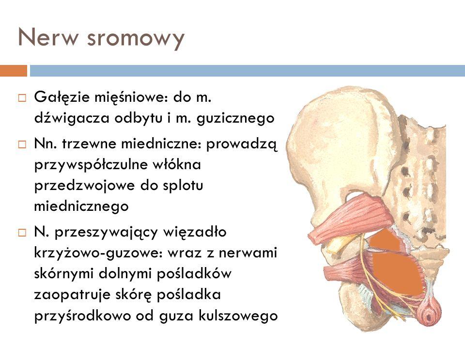 Nerw sromowy Gałęzie mięśniowe: do m. dźwigacza odbytu i m. guzicznego Nn. trzewne miedniczne: prowadzą przywspółczulne włókna przedzwojowe do splotu
