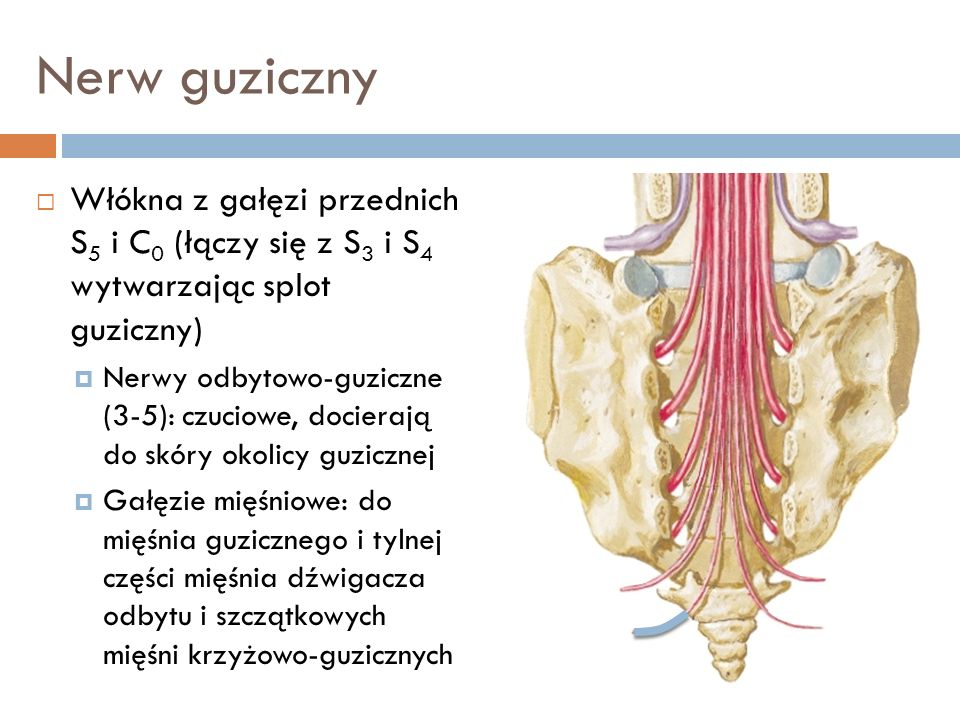 Nerw guziczny Włókna z gałęzi przednich S 5 i C 0 (łączy się z S 3 i S 4 wytwarzając splot guziczny) Nerwy odbytowo-guziczne (3-5): czuciowe, docieraj