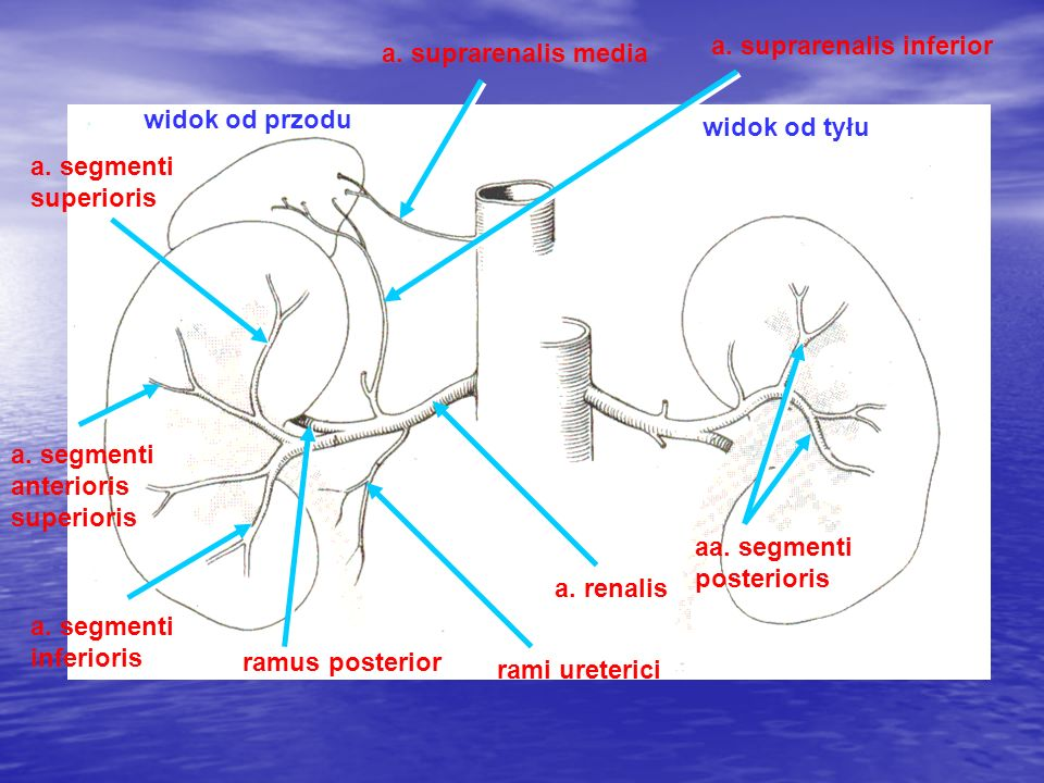 widok od przodu widok od tyłu a. renalis aa. segmenti posterioris rami ureterici ramus posterior a. segmenti inferioris a. segmenti anterioris superio