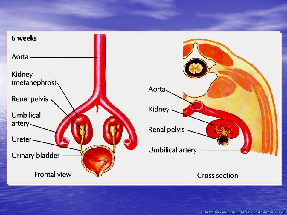 Położenie nerki: W jamie brzusznej, pierwotnie zaotrzewnowo.