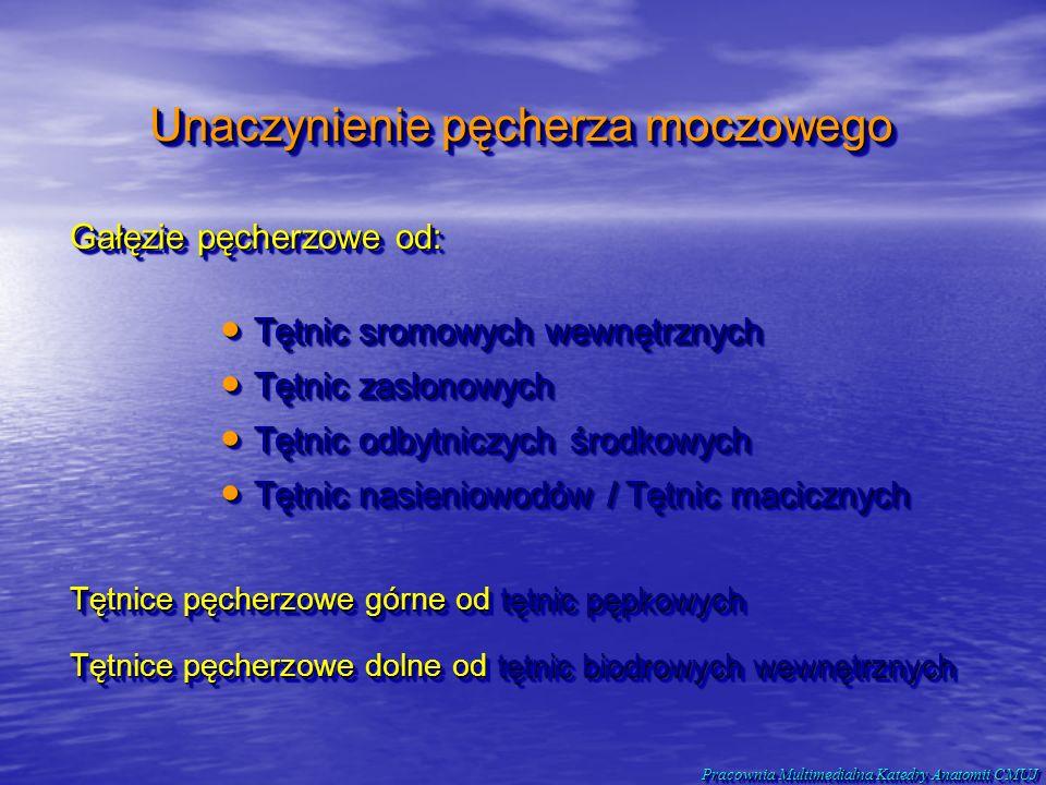 Gałęzie pęcherzowe od: Unaczynienie pęcherza moczowego Tętnic sromowych wewnętrznych Tętnic sromowych wewnętrznych Tętnic zasłonowych Tętnic zasłonowy