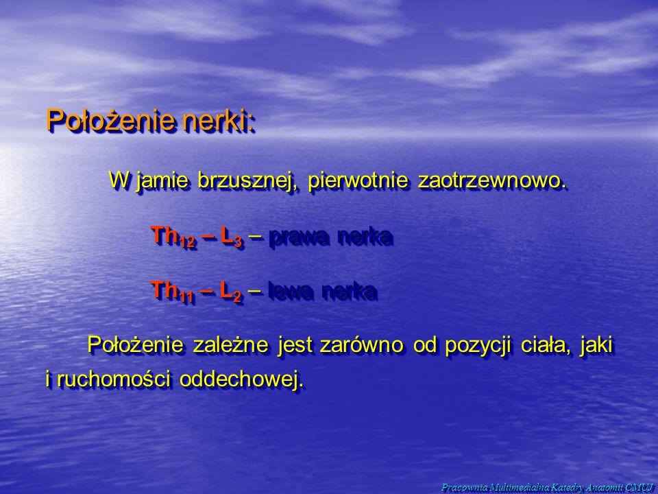 Położenie nerki: W jamie brzusznej, pierwotnie zaotrzewnowo. Th 12 – L 3 – prawa nerka Th 12 – L 3 – prawa nerka Th 11 – L 2 – lewa nerka Położenie za