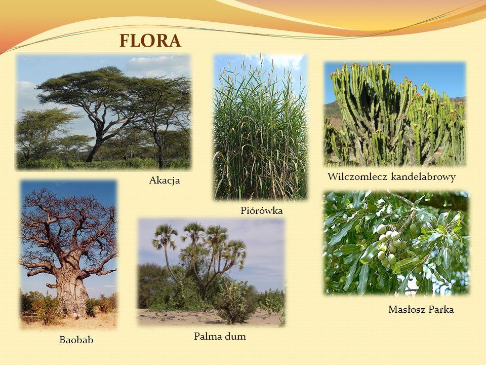 FLORA Wilczomlecz kandelabrowy Masłosz Parka Piórówka Akacja Baobab Palma dum