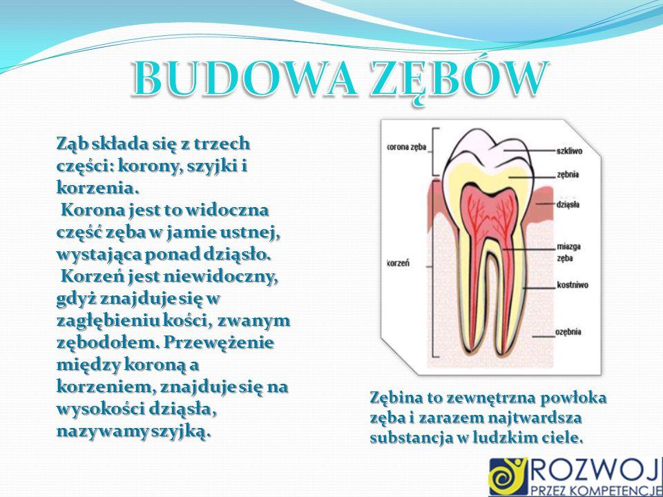 Ząb składa się z trzech części: korony, szyjki i korzenia. Korona jest to widoczna część zęba w jamie ustnej, wystająca ponad dziąsło. Korona jest to