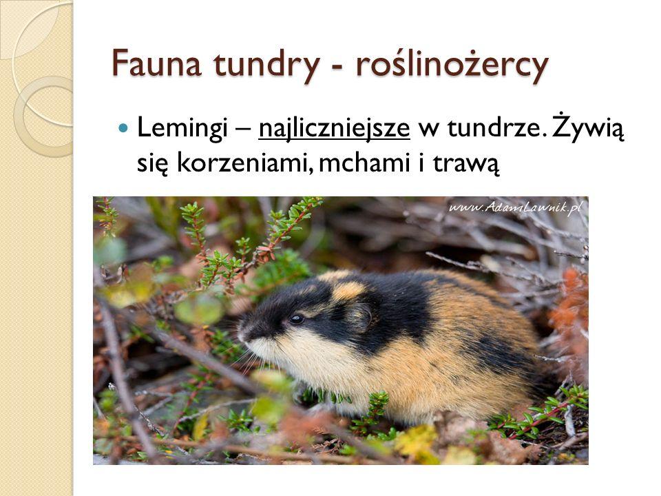 Fauna tundry - roślinożercy Lemingi – najliczniejsze w tundrze. Żywią się korzeniami, mchami i trawą