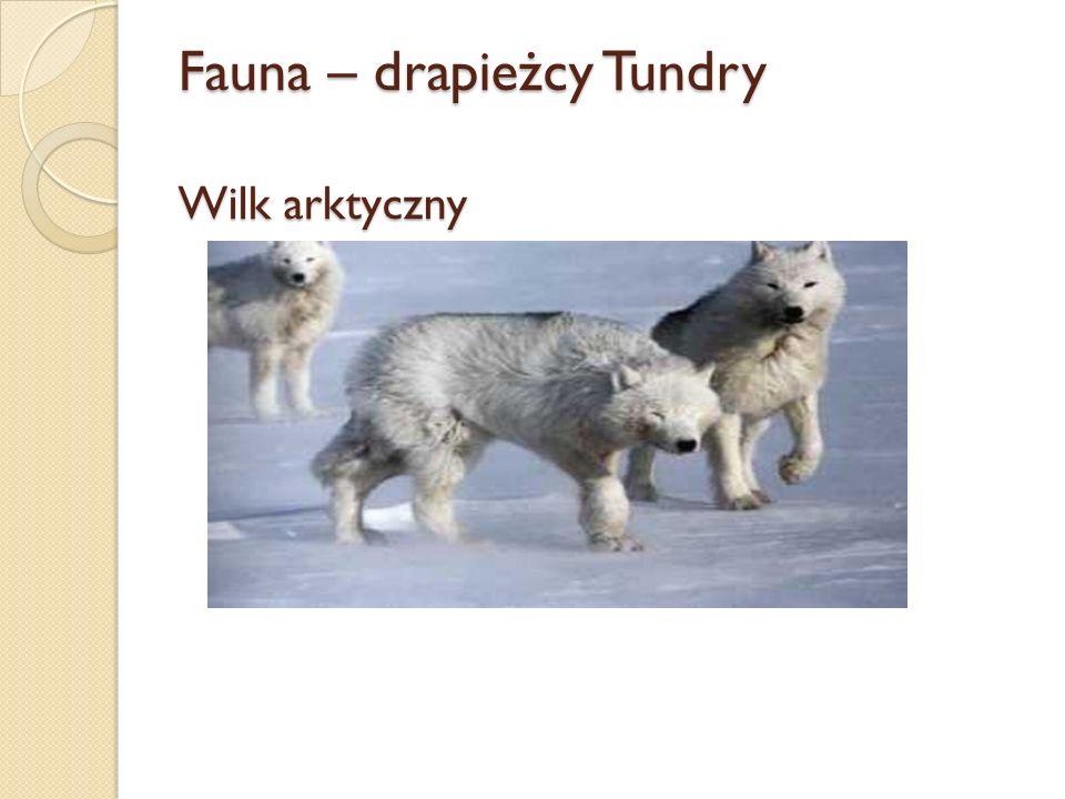 Fauna – drapieżcy Tundry Wilk arktyczny