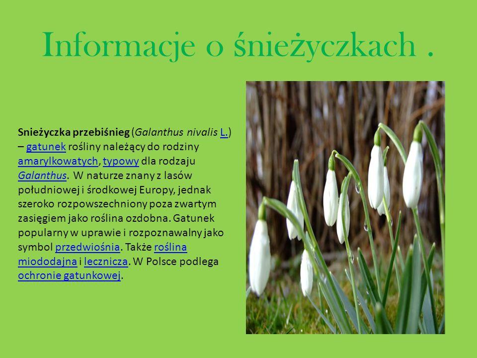Informacje o ś nie ż yczkach. Snieżyczka przebiśnieg (Galanthus nivalis L.) – gatunek rośliny należący do rodziny amarylkowatych, typowy dla rodzaju G