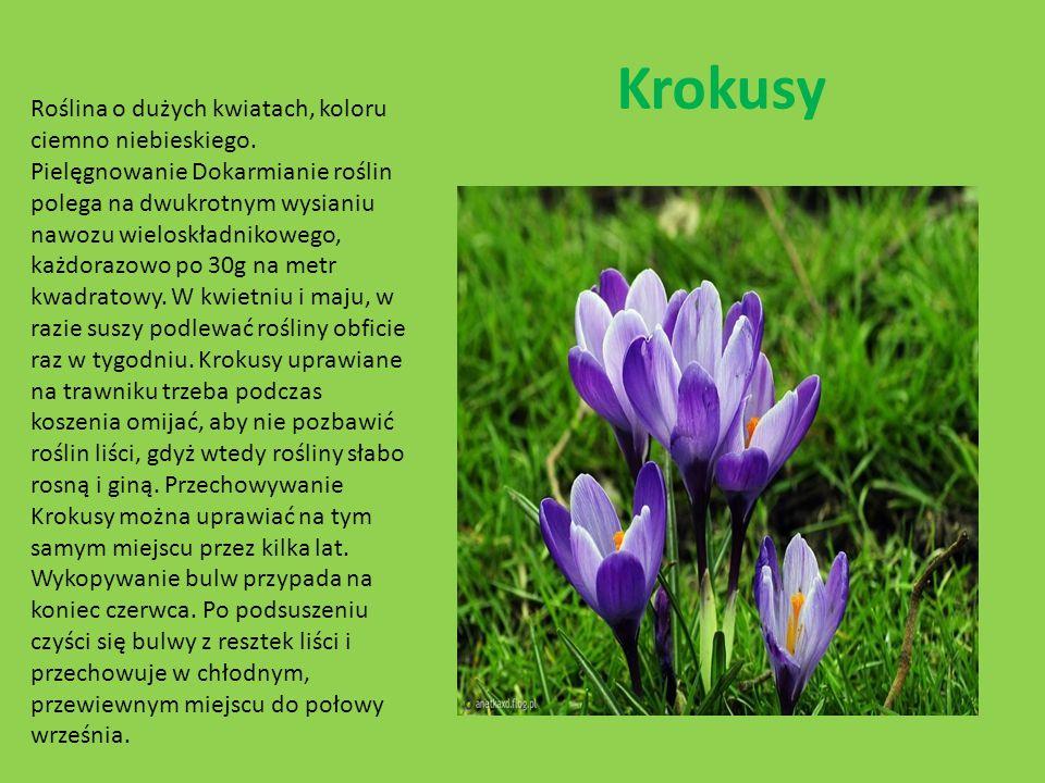 Krokusy Roślina o dużych kwiatach, koloru ciemno niebieskiego. Pielęgnowanie Dokarmianie roślin polega na dwukrotnym wysianiu nawozu wieloskładnikoweg