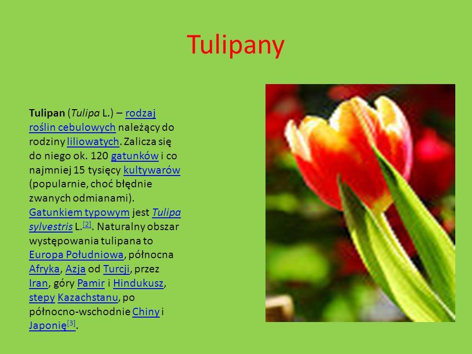 Tulipany Tulipan (Tulipa L.) – rodzaj roślin cebulowych należący do rodziny liliowatych. Zalicza się do niego ok. 120 gatunków i co najmniej 15 tysięc