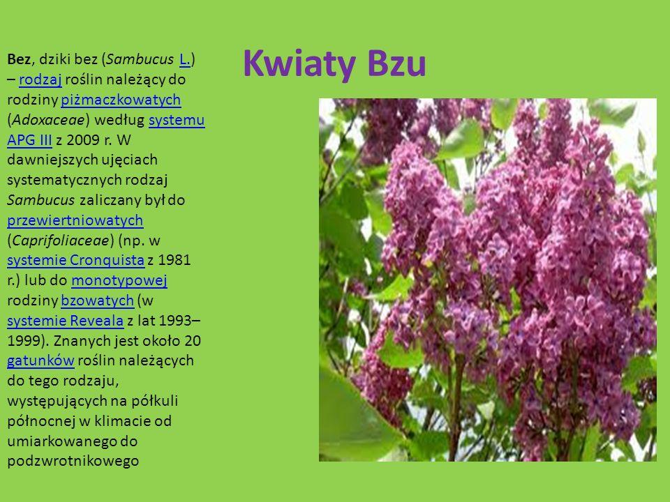 Kwiaty Bzu Bez, dziki bez (Sambucus L.) – rodzaj roślin należący do rodziny piżmaczkowatych (Adoxaceae) według systemu APG III z 2009 r. W dawniejszyc