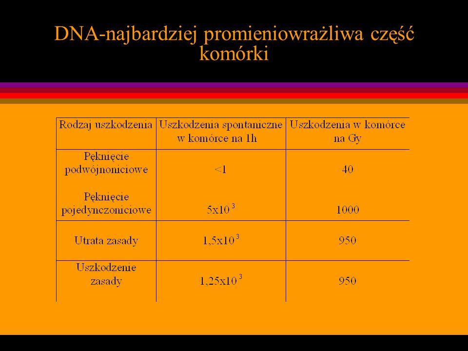 DNA-najbardziej promieniowrażliwa część komórki