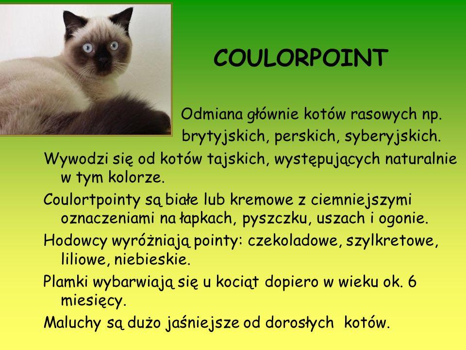 COULORPOINT Odmiana głównie kotów rasowych np. brytyjskich, perskich, syberyjskich. Wywodzi się od kotów tajskich, występujących naturalnie w tym kolo