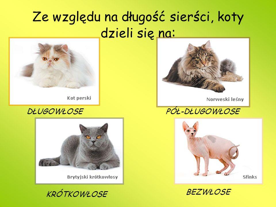 Ze względu na długość sierści, koty dzieli się na : DŁUGOWŁOSE PÓŁ-DŁUGOWŁOSE KRÓTKOWŁOSE BEZWŁOSE