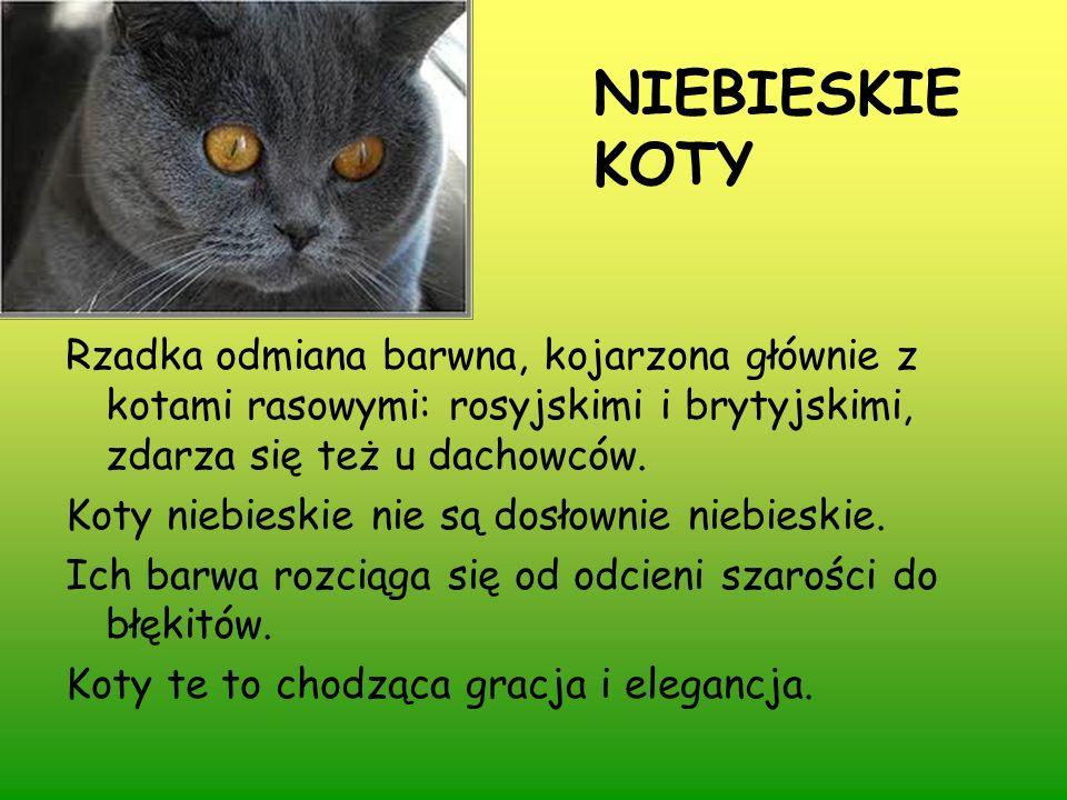 NIEBIESKIE KOTY Rzadka odmiana barwna, kojarzona głównie z kotami rasowymi: rosyjskimi i brytyjskimi, zdarza się też u dachowców. Koty niebieskie nie