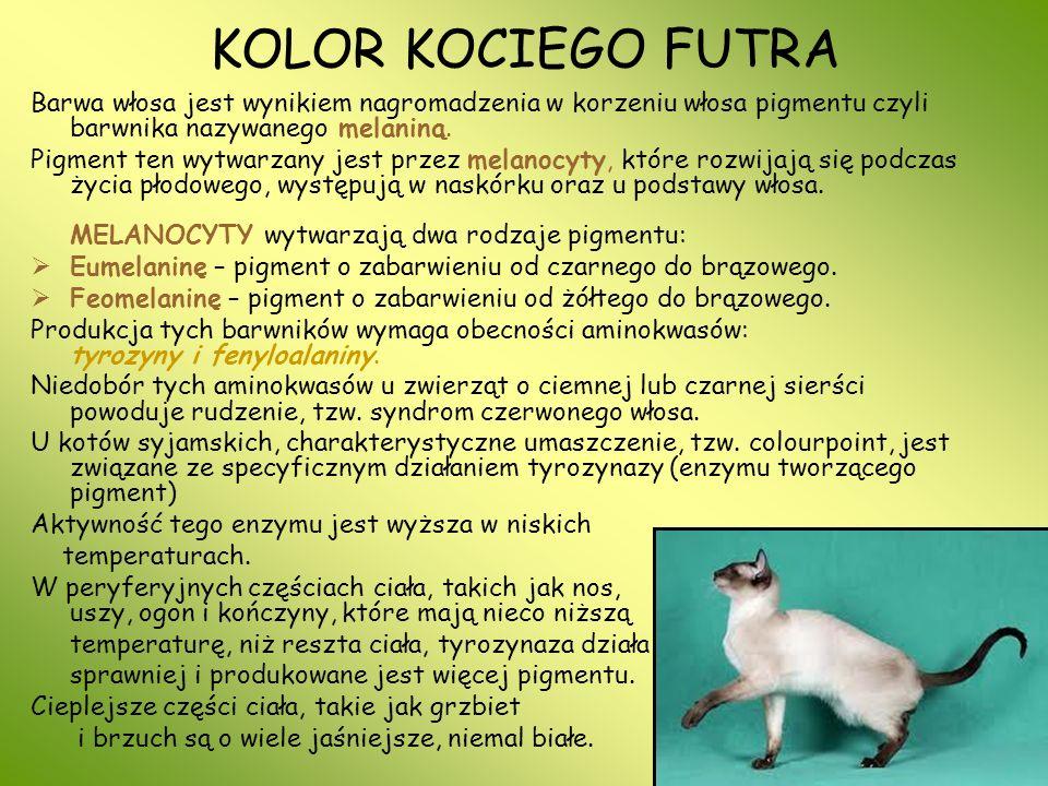 NIEBIESKIE KOTY Rzadka odmiana barwna, kojarzona głównie z kotami rasowymi: rosyjskimi i brytyjskimi, zdarza się też u dachowców.