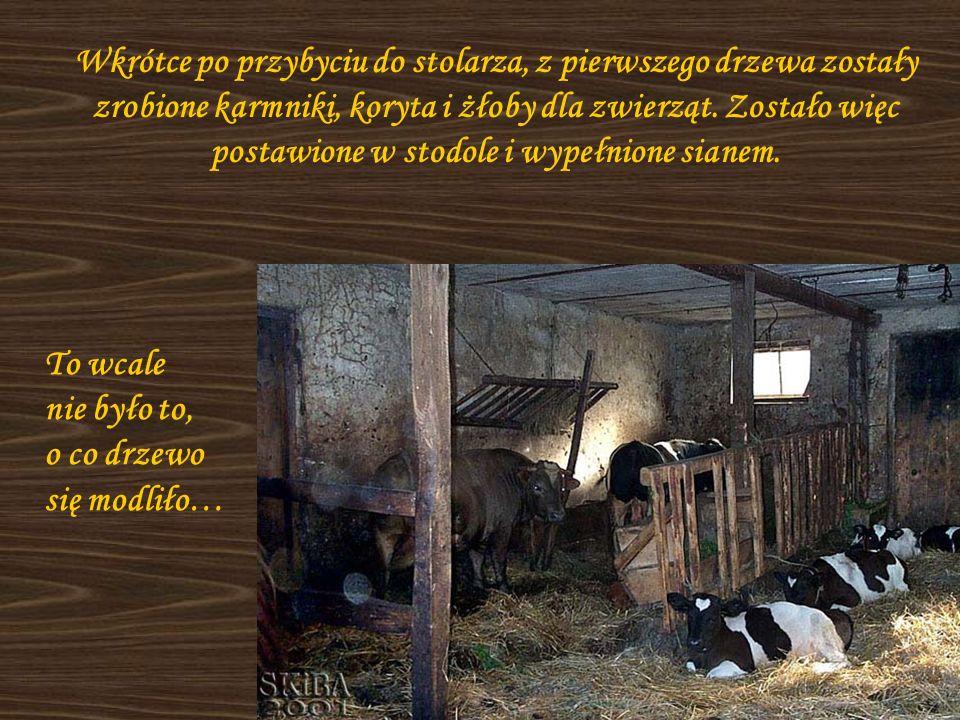 Wkrótce po przybyciu do stolarza, z pierwszego drzewa zostały zrobione karmniki, koryta i żłoby dla zwierząt. Zostało więc postawione w stodole i wype
