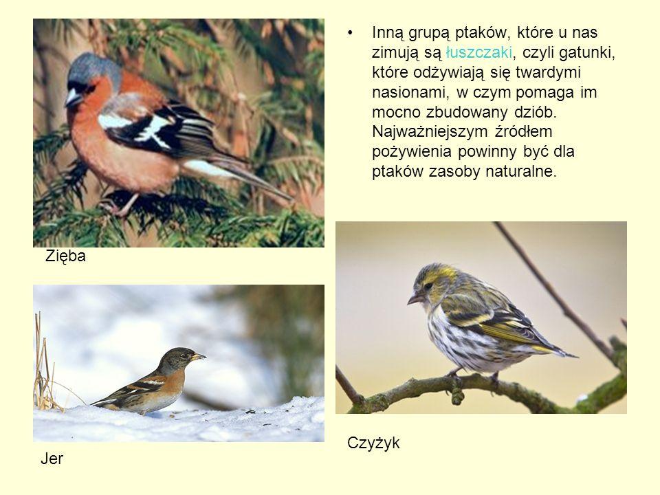 Inną grupą ptaków, które u nas zimują są łuszczaki, czyli gatunki, które odżywiają się twardymi nasionami, w czym pomaga im mocno zbudowany dziób. Naj