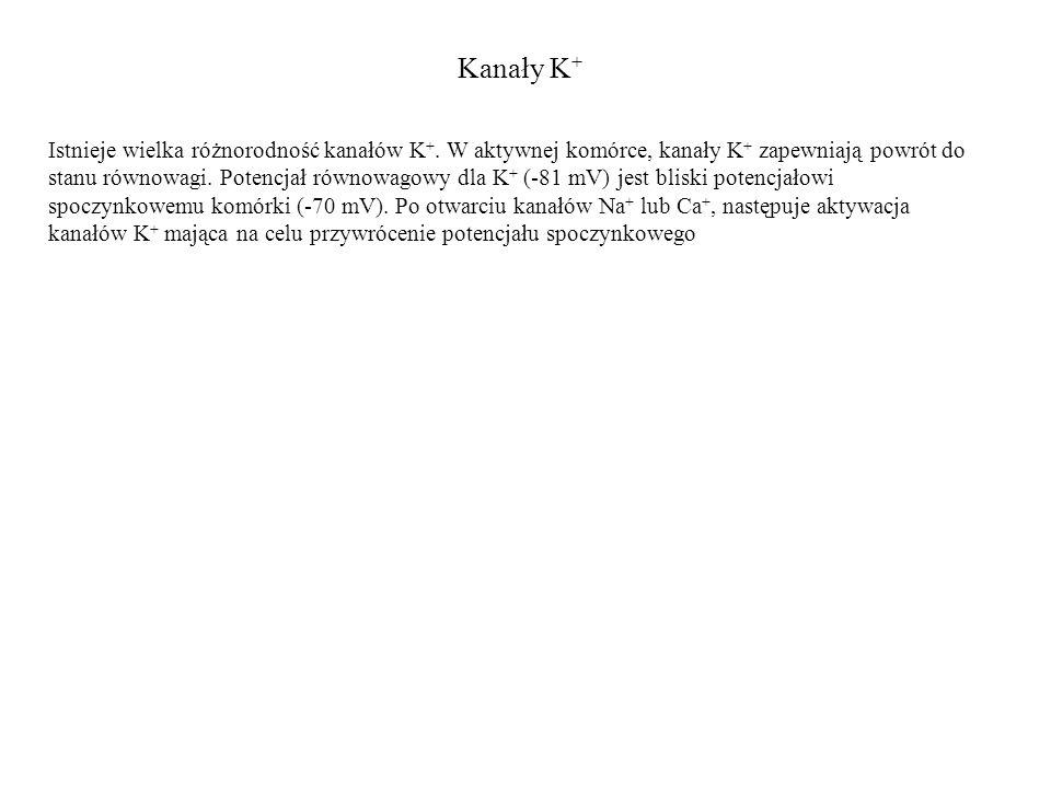Kanały K + Istnieje wielka różnorodność kanałów K +. W aktywnej komórce, kanały K + zapewniają powrót do stanu równowagi. Potencjał równowagowy dla K