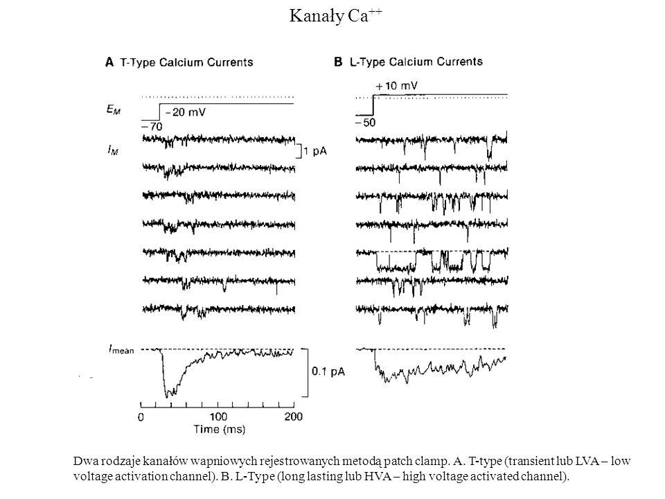 Kanały Ca ++ Dwa rodzaje kanałów wapniowych rejestrowanych metodą patch clamp. A. T-type (transient lub LVA – low voltage activation channel). B. L-Ty