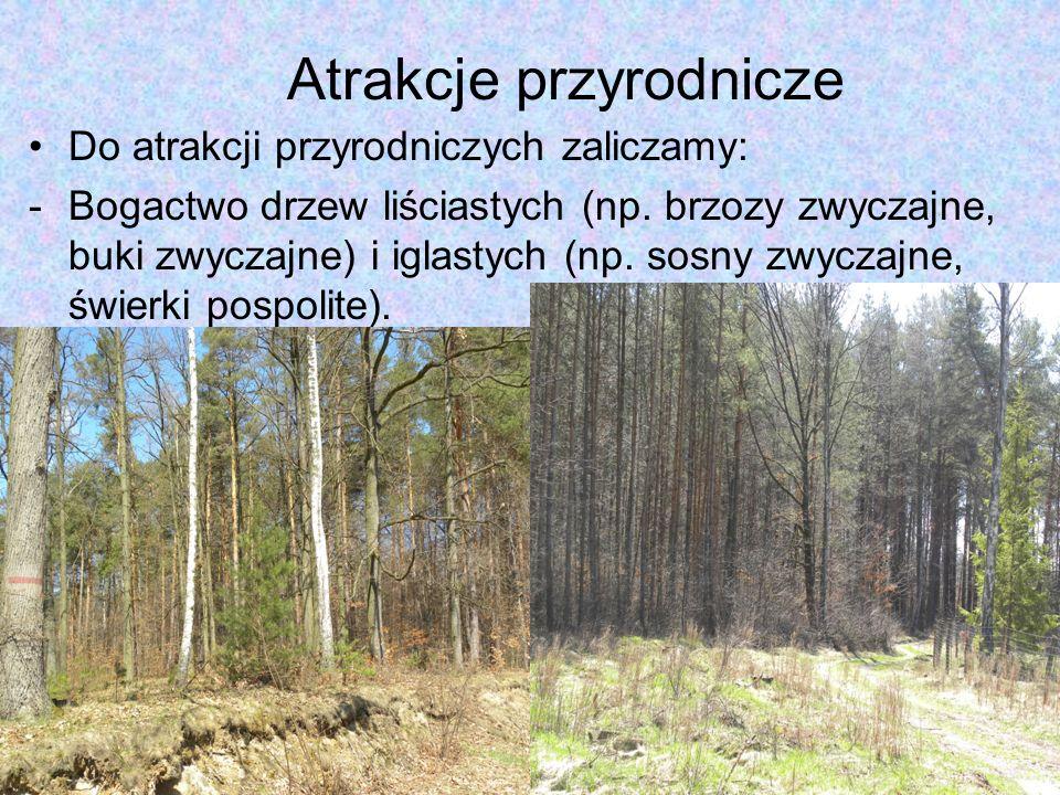 Atrakcje przyrodnicze Do atrakcji przyrodniczych zaliczamy: -Bogactwo drzew liściastych (np. brzozy zwyczajne, buki zwyczajne) i iglastych (np. sosny
