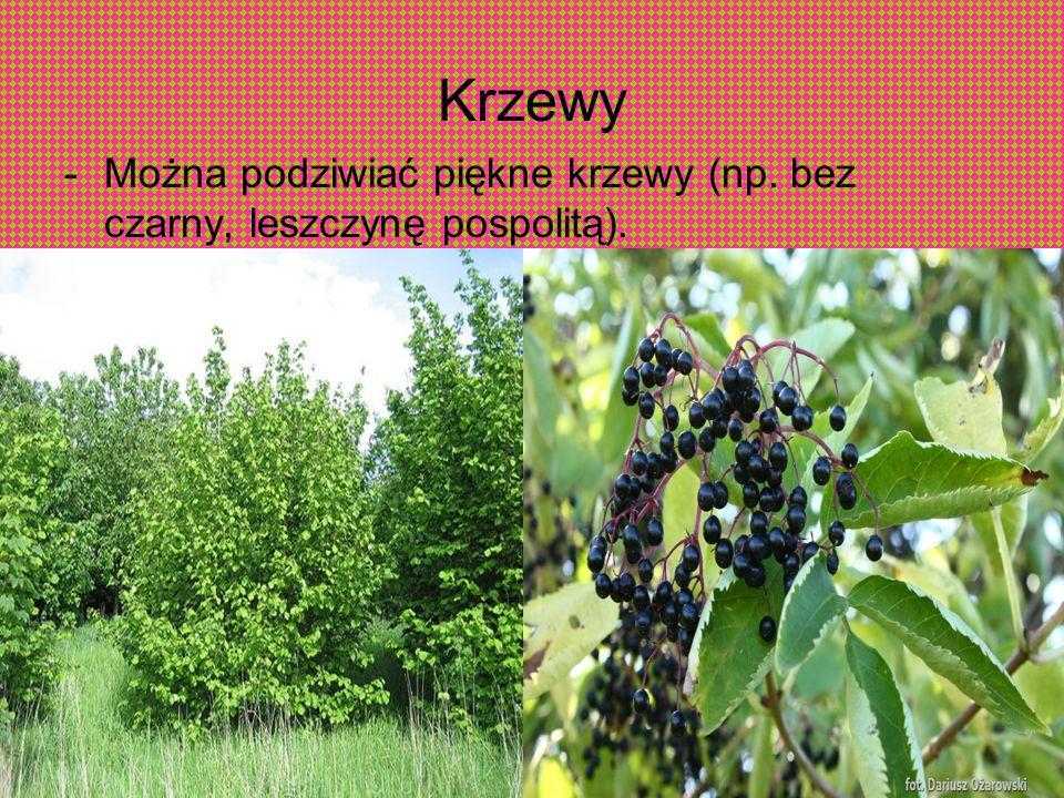 Krzewy -Można podziwiać piękne krzewy (np. bez czarny, leszczynę pospolitą).