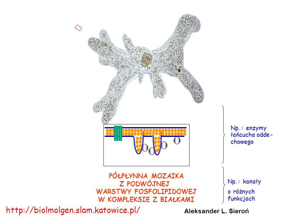 PÓŁPŁYNNA MOZAIKA Z PODWÓJNEJ WARSTWY FOSFOLIPIDOWEJ W KOMPLEKSIE Z BIAŁKAMI Np.: enzymy łańcucha odde- chowego Aleksander L.