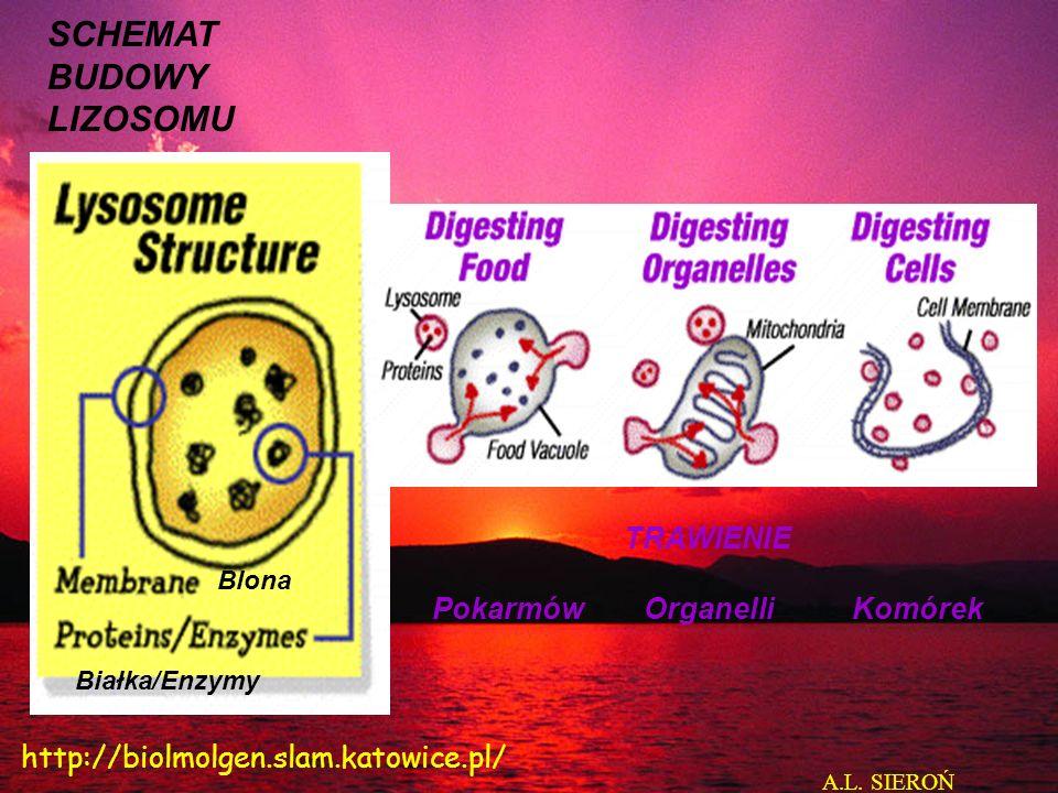TRAWIENIE PokarmówOrganelliKomórek SCHEMAT BUDOWY LIZOSOMU Blona Białka/Enzymy A.L.