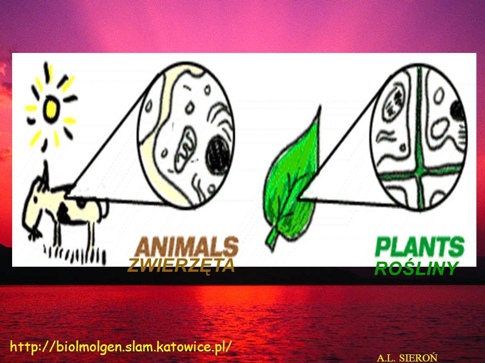 KOMÓRKA ZWIERZĘCA Jądro komórkowe (Nucleus) Szorstka siateczka wewnątrz- plazmatyczna (Rough endoplasmic reticulum Aparat Golgiego (Golgi Aparatus) Mitochondrium Pęcherzyk wydzielniczy po uwolnieniu zawartości (secretory vessicle after releasing its content) Gładka siateczka wewnątrz- plazmatyczna (Smooth endoplasmic reticulum) Jąderko (Nucleolus) Lizosom (Lysosome) A.L.