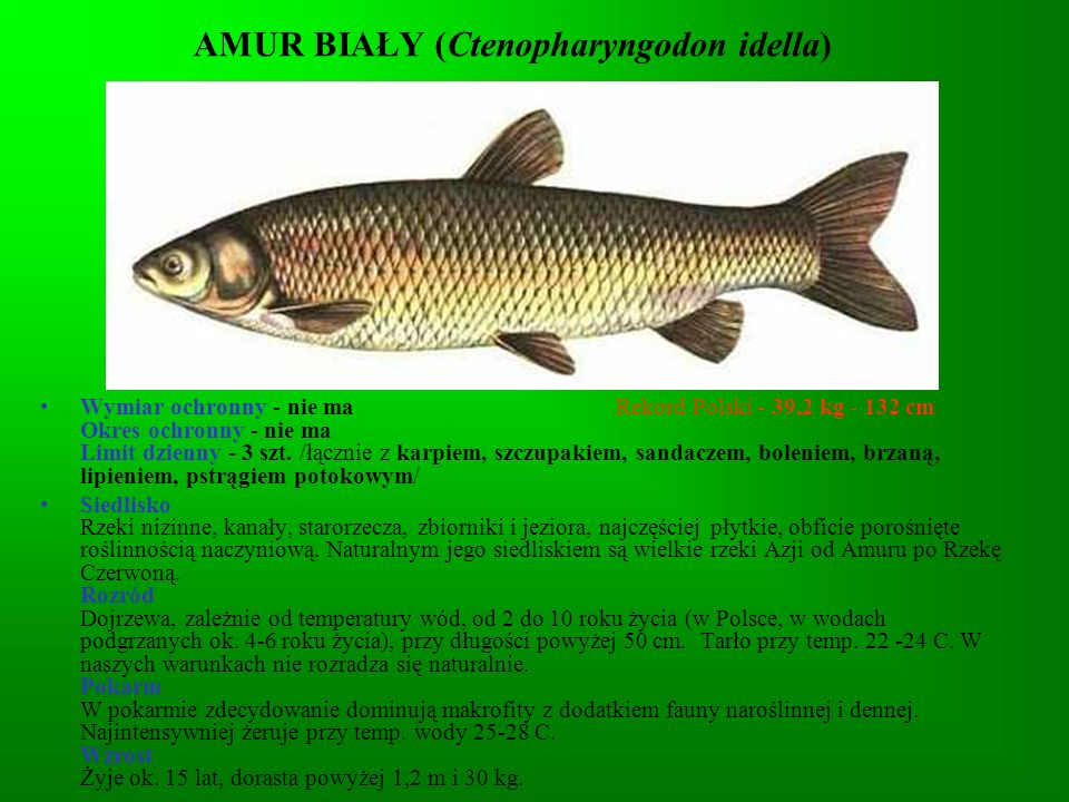 KARAŚ SREBRZYSTY (Carassius auratus gibelio) Wymiar ochronny - nie ma Rekord Polski - 3,4 kg - 53,5 cm Okres ochronny - nie ma Limit dzienny - nie ma Siedlisko Wywodzi się z Azji południowo-wschodniej.