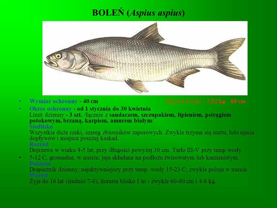 OKOŃ (Perca fluviatilis) Wymiar ochronny - nie ma Rekord Polski - 2,65 kg - 50 cm Okres ochronny - nie ma Limit dzienny - 5 kg /łącznie z innymi rybami nielimitowanymi/ Siedlisko Rzeki od krainy pstrąga po wody słonawe, starorzecza, jeziora, zbiorniki zaporowe.