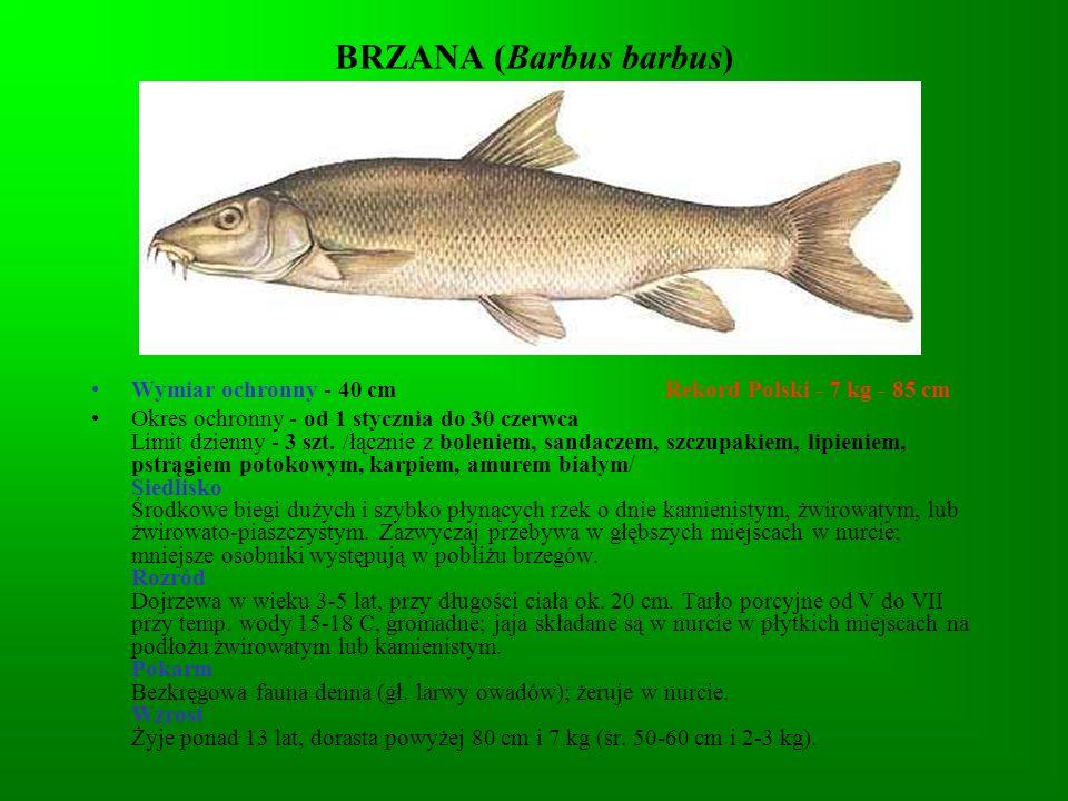 PELUGA (Coregonus peled) Wymiar ochronny - nie ma Rekord Polski - Okres ochronny - nie ma Limit dzienny - 5 kg /łącznie z innymi rybami nielimitowanymi/ Siedlisko Naturalnym jej siedliskiem są jeziora przepływowe Kołymy.