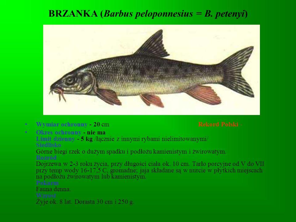 KARP (Cyprinus carpio) Wymiar ochronny - 30 cm (nie dotyczy rzek) Rekord Polski - 27 kg - 103 cm Okres ochronny - nie ma Limit dzienny - 3 szt.
