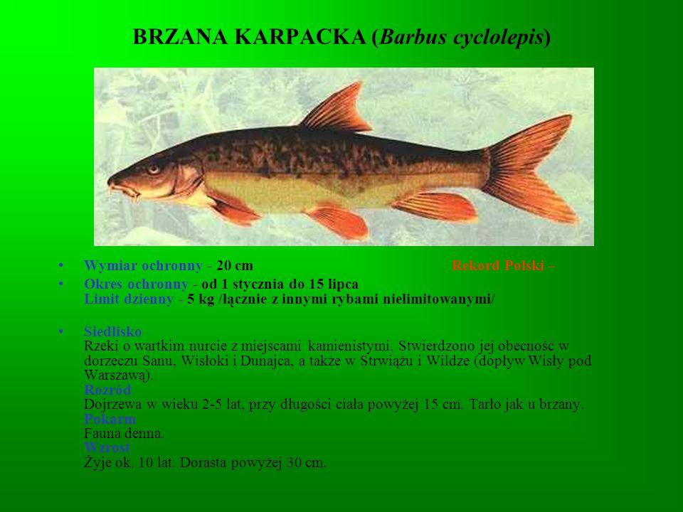 KLEŃ (Leuciscus cephalus) Wymiar ochronny - 25 cm Rekord Polski - 6,3 kg - 83 cm Okres ochronny - nie ma Limit dzienny - 10 szt.
