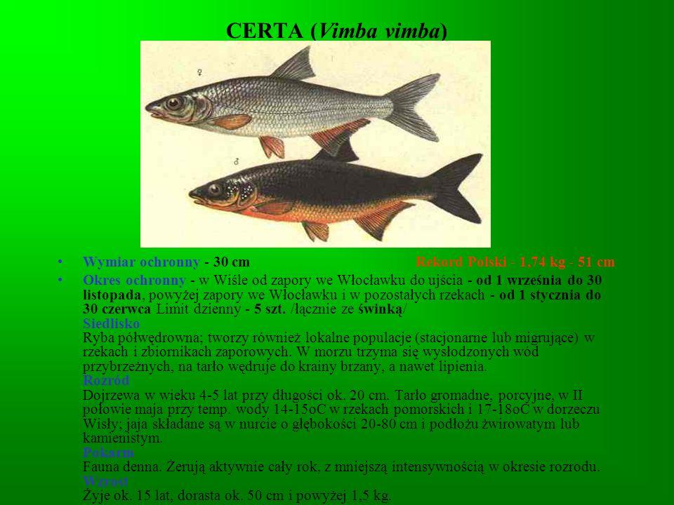 DORSZ ( Gadus morhua) Wymiar ochronny - 35 cm Rekord Polski - 28,9 kg - 137 cm Okres ochronny - od 1 czerwca do 31 sierpnia Limit dzienny - Siedlisko Od długości 3-6 cm - przydenny, przebywa w strefie od brzegu do głęb.
