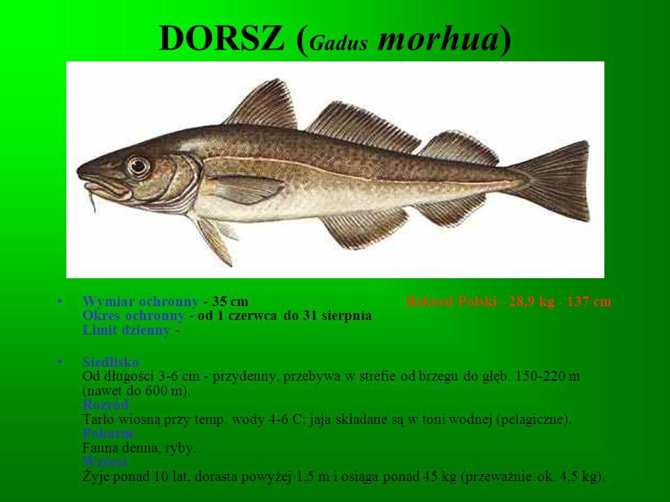 PSTRĄG TĘCZOWY (Oncorhynchus mykiss) Wymiar ochronny - nie ma Rekord Polski - 7,3 kg - 75 cm Okres ochronny - nie ma Limit dzienny - 4 szt.
