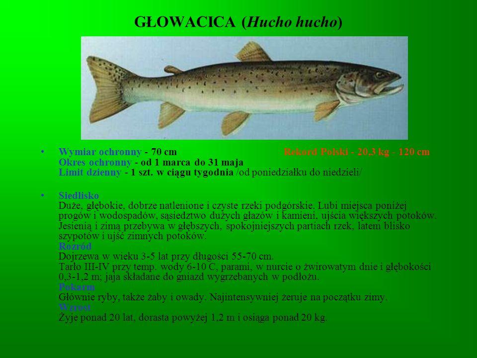 ROZPIÓR (Abramis ballerus) Wymiar ochronny – 25 Rekord Polski - 0,98 kg - 45 cm Okres ochronny - nie ma Limit dzienny - 5 kg /łącznie z innymi rybami nielimitowanymi/ Siedlisko Dolny bieg rzek i słonawe zatoki (w północno-zachodniej Polski).