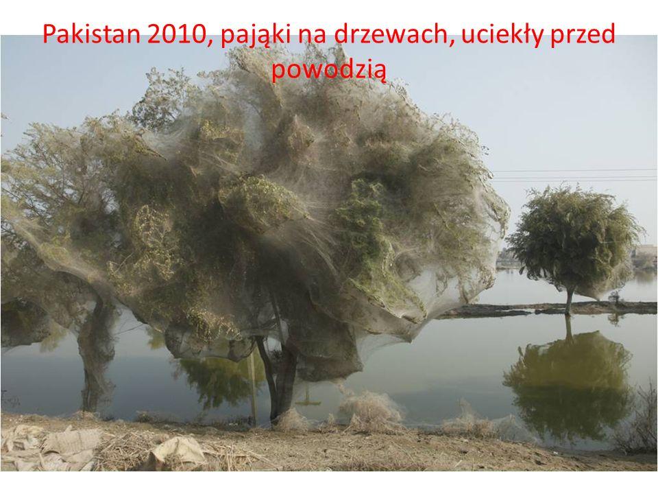 Pakistan 2010, pająki na drzewach, uciekły przed powodzią
