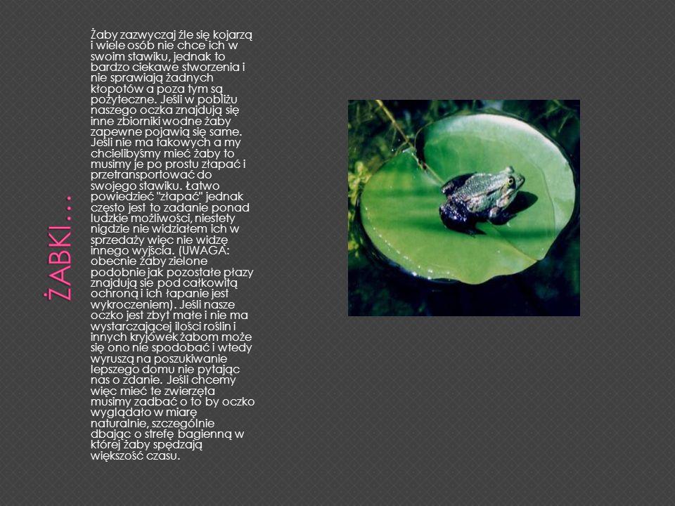 Żaby zazwyczaj źle się kojarzą i wiele osób nie chce ich w swoim stawiku, jednak to bardzo ciekawe stworzenia i nie sprawiają żadnych kłopotów a poza