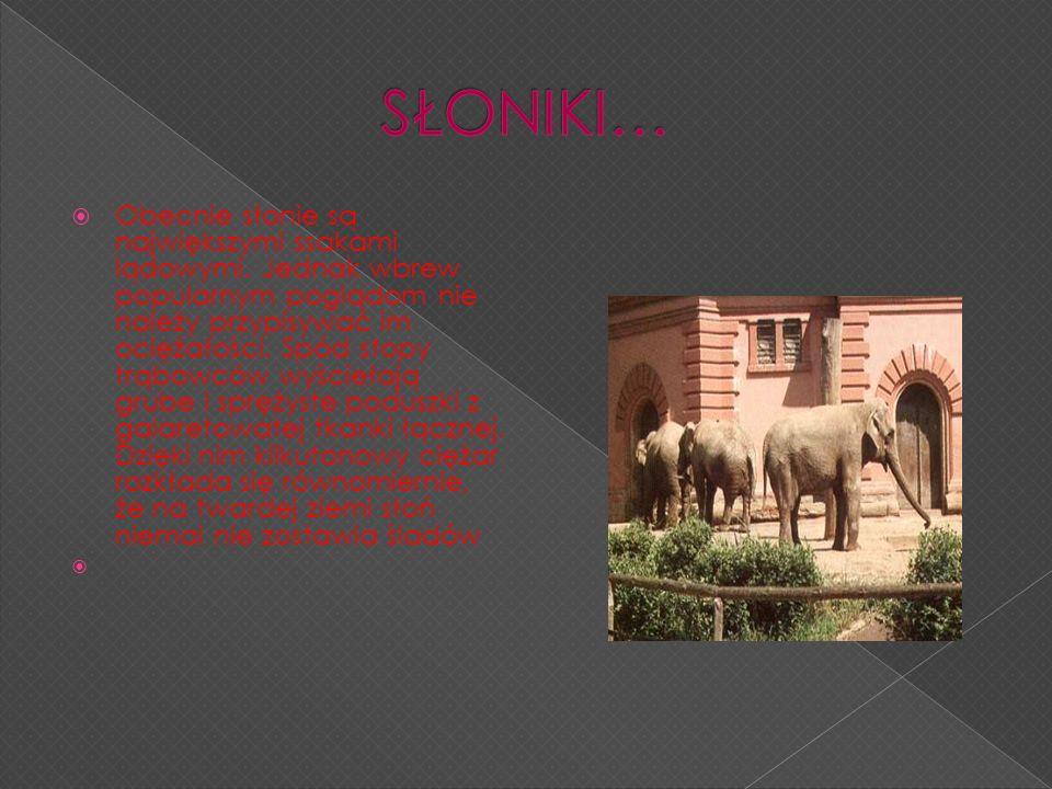 Obecnie słonie są największymi ssakami lądowymi. Jednak wbrew popularnym poglądom nie należy przypisywać im ociężałości. Spód stopy trąbowców wyścieła