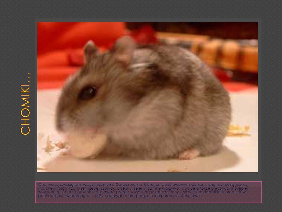 Chomiki są zwierzętami wszystkożernymi. Oprócz ziarna, które jest podstawowym daniem, chętnie jedzą jabłka, marchew, biały i żółty ser, rzepę, szpinak