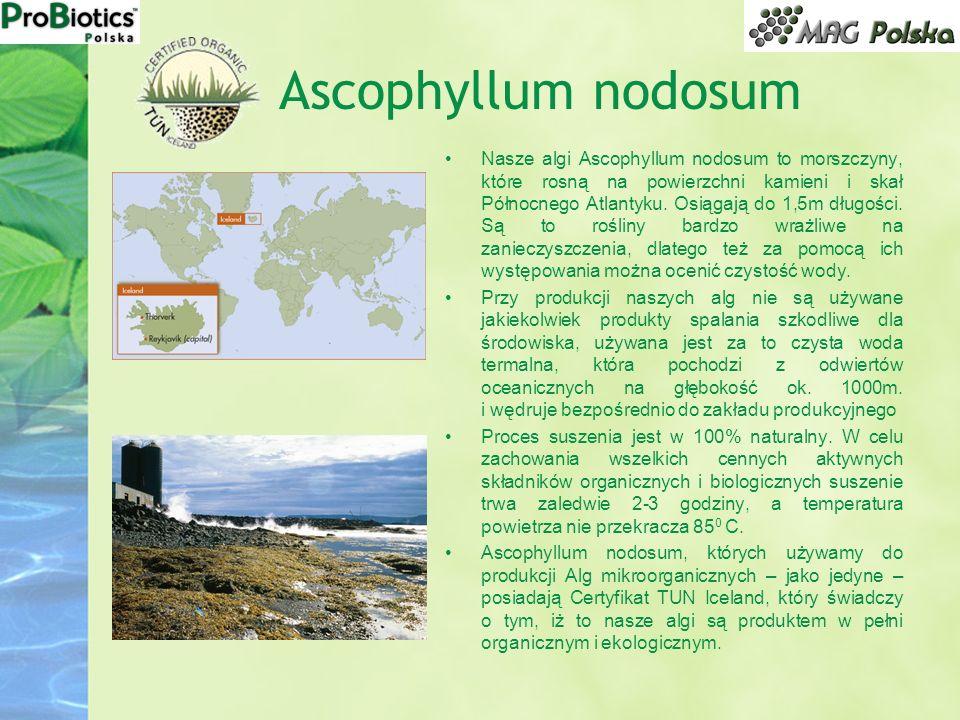 Ascophyllum nodosum Nasze algi Ascophyllum nodosum to morszczyny, które rosną na powierzchni kamieni i skał Północnego Atlantyku. Osiągają do 1,5m dłu