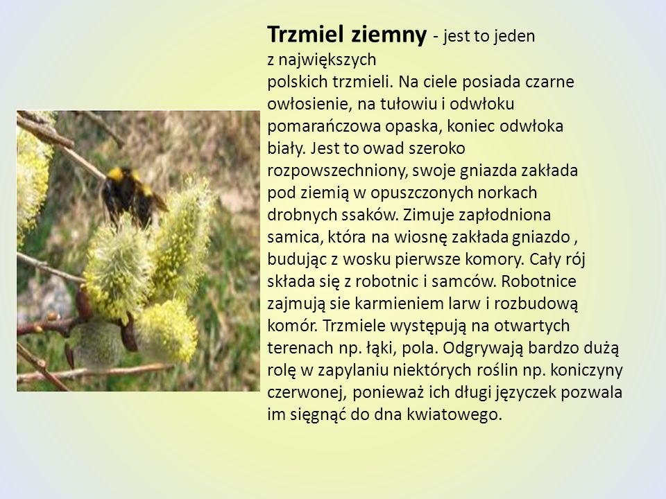 Trzmiel ziemny - jest to jeden z największych polskich trzmieli. Na ciele posiada czarne owłosienie, na tułowiu i odwłoku pomarańczowa opaska, koniec