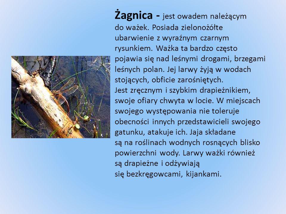 Żagnica - jest owadem należącym do ważek. Posiada zielonożółte ubarwienie z wyraźnym czarnym rysunkiem. Ważka ta bardzo często pojawia się nad leśnymi