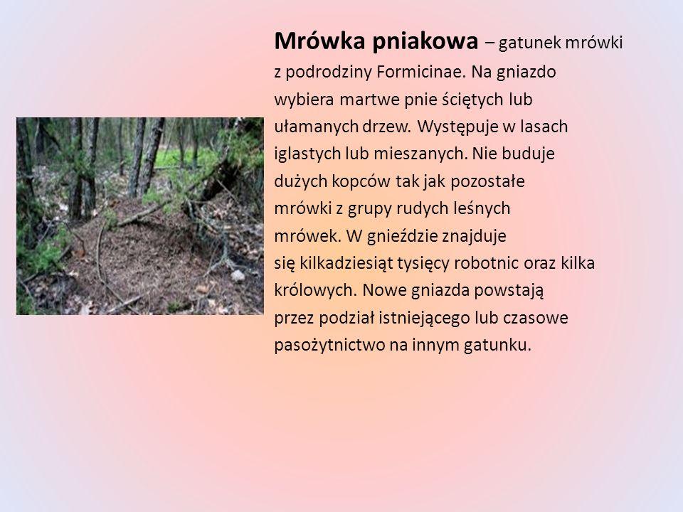Mrówka pniakowa – gatunek mrówki z podrodziny Formicinae. Na gniazdo wybiera martwe pnie ściętych lub ułamanych drzew. Występuje w lasach iglastych lu
